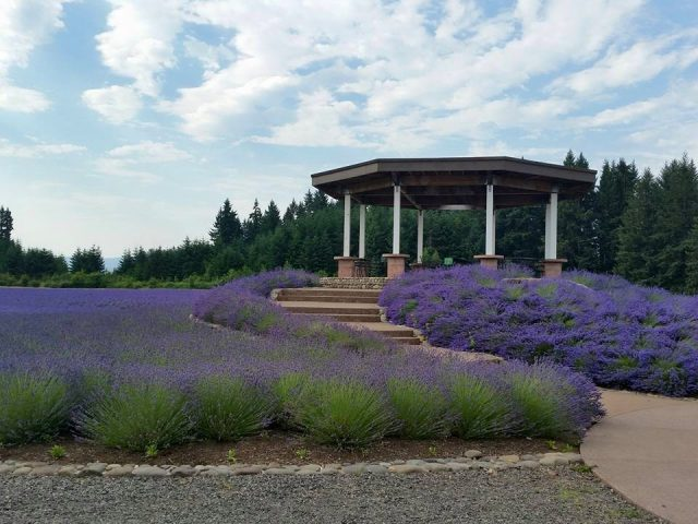 Clackamas County Lavender Festival @ The Oregon Lavender Farm